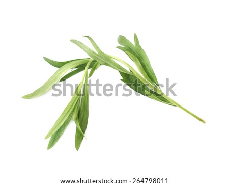 Green leaves of the Tarragon Artemisia dracunculus perennial aromatic culinary herb isolated over the white background - stock photo