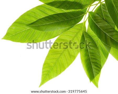 Green leaves of walnut tree isolated on white background - stock photo