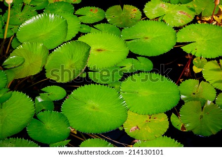 Green leaves of water lilies - stock photo
