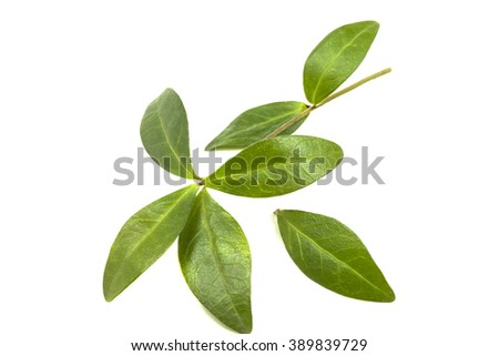 green leaves of wild elegant periwinkle