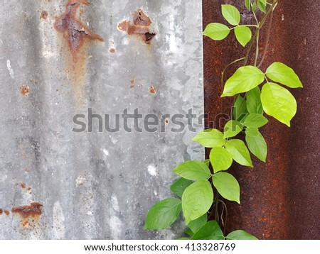 green leaves of wild plant growing creeping on an old aged weathered rusty galvanized corrugated iron sheet surface. - stock photo
