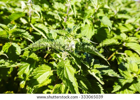 Green leaves of wild stinging nettle shown in the wild environment - stock photo