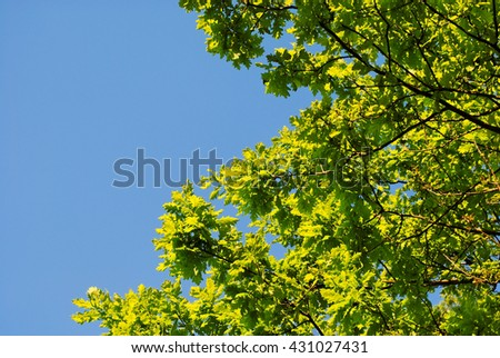 green leaves of young oak - stock photo