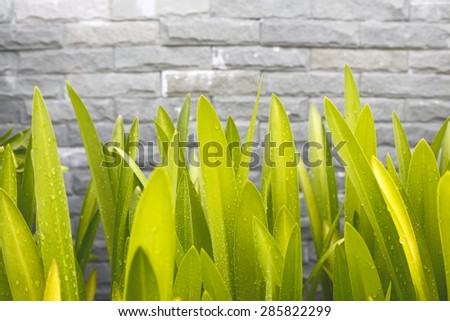 Green leaves on a brick wall - stock photo