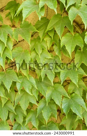 Green leaves on a wall