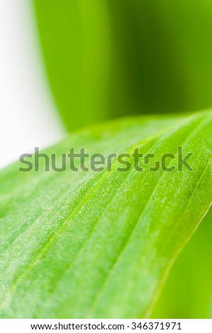Green leaves on a white background closeup