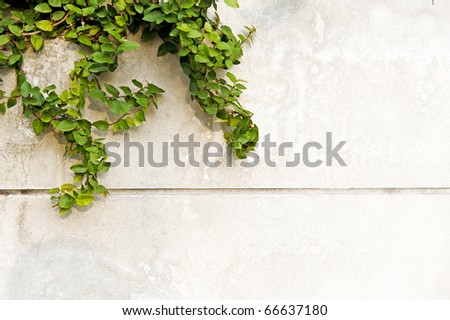 Green leaves on old brick wall for use as background - stock photo