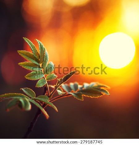 green leaves on orange sunrise background. Nature outdoor evening photo in forest - stock photo