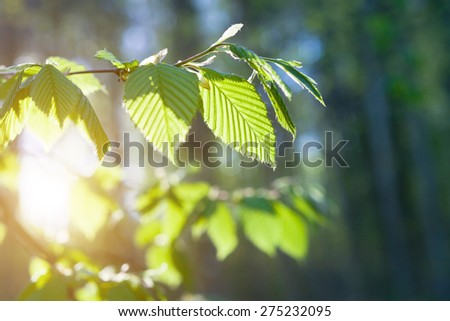 Green leaves on the green backgrounds.  Selective focus (shallow depth of field) - stock photo