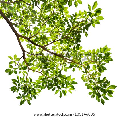 Green leaves on white background - stock photo