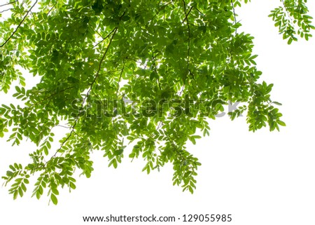 green leaves on white background with clipping path - stock photo