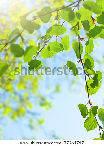 Green leaves or birch on the sun - stock photo