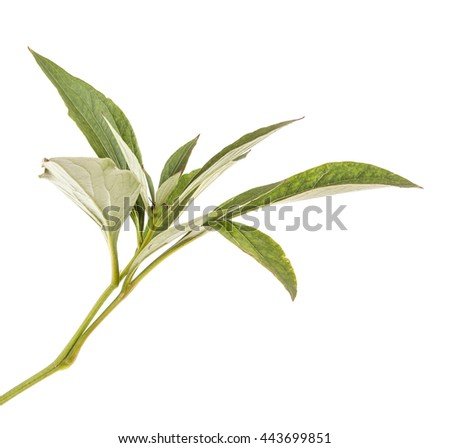 green leaves peony bush. isolated on white background