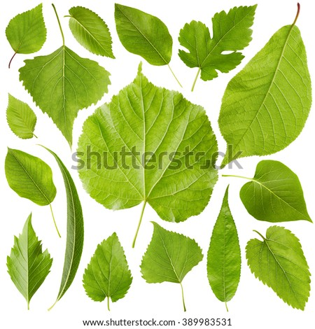 Green leaves set isolated on white background. Nature background