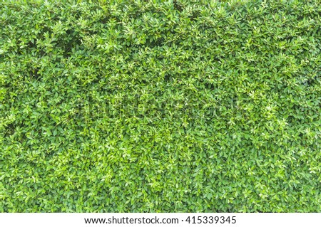 Green leaves texture background, wall natural