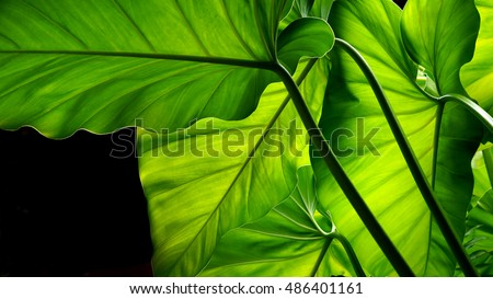Green leaves. Tropical leaf.