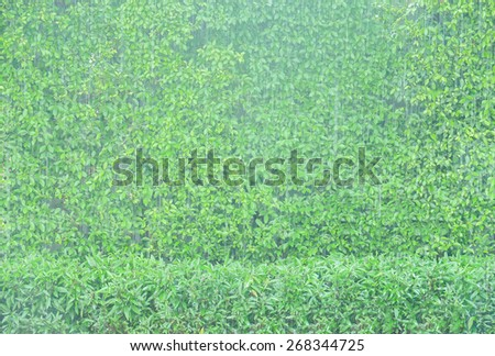 Green Leaves Wall in The Rain - stock photo