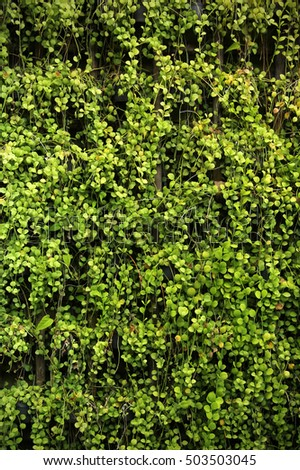 Green leaves wall texture with for background
