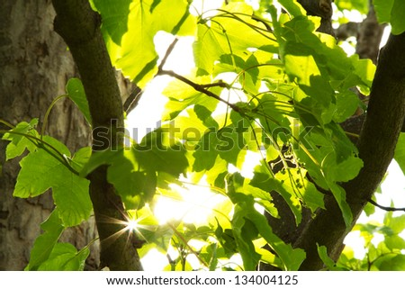 Green leaves with bright sun light coming through - stock photo