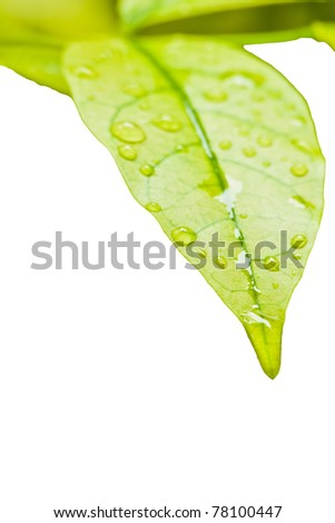 Green leaves with droplet isolated on white background can use as frame - stock photo