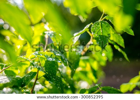 Green leaves with drops after summer rain. Selective focus and shallow DOF - stock photo