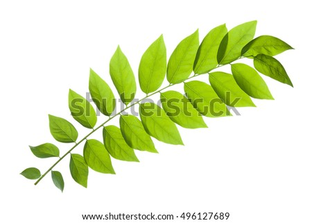 green leaves with isolated on white background with clipping path