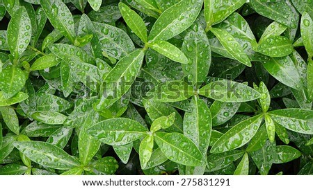 Green leaves with raindrops, nature background - stock photo