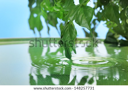 Green leaves with reflection in water