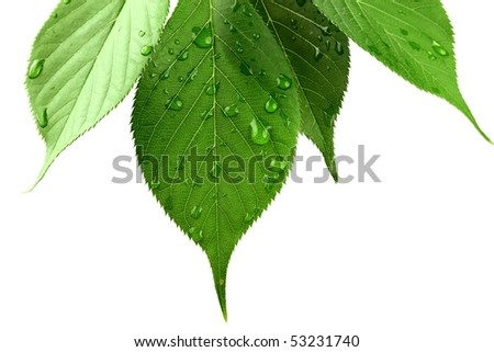 Green leaves with water droplets on white background - stock photo