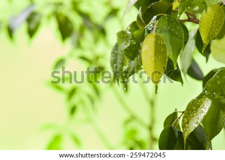 Green leaves with water drops - stock photo