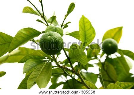 green lemon citrus - stock photo
