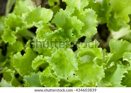Green lettuce growing in a field, close up - stock photo