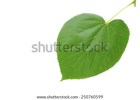 Green linden leaf isolated on white background. Linden leaf on white background. - stock photo