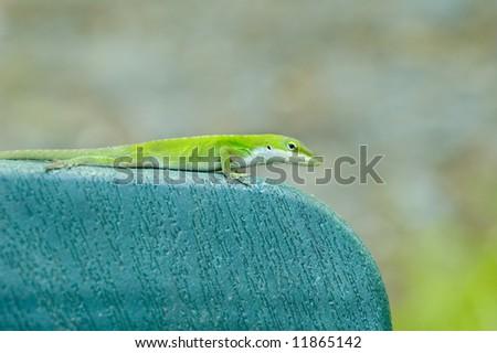 Green Lizard - anolis carolinensis - stock photo