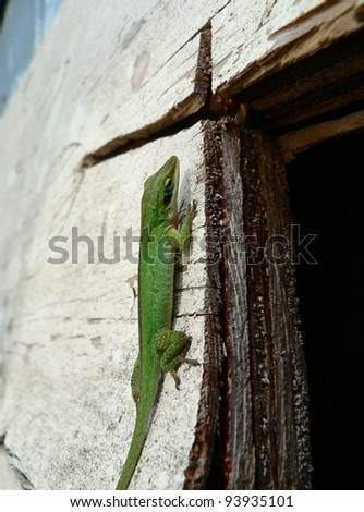 Green lizard clinging to weathered plywood. - stock photo