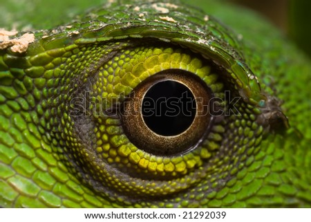 Close up of Eye of Plumed Basilisk Lizard Stock Photo, Royalty ...