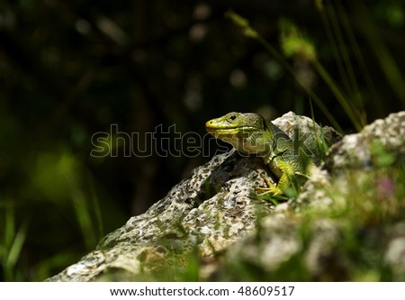 Green lizard in a sunshine