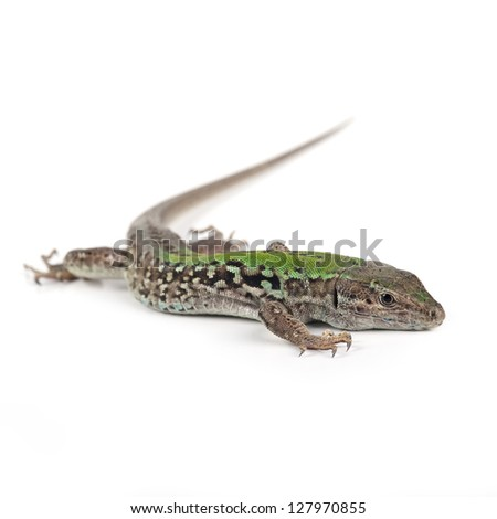 Green lizard isolated on white background. - stock photo