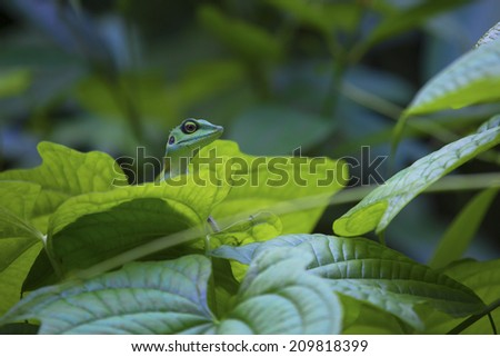 Green lizard on a green leaf surrounded by the lush green tropical jungle of Singapore.