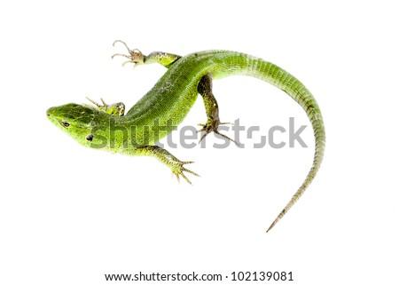 green lizard on white background - stock photo