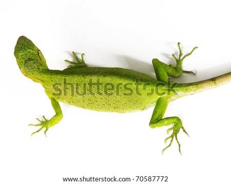 Green lizard on white background. - stock photo