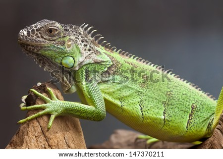 Green lizard sitting on the tree. close-up - stock photo