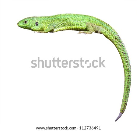 green lizard with a twisted tail. Isolated over white background - stock photo