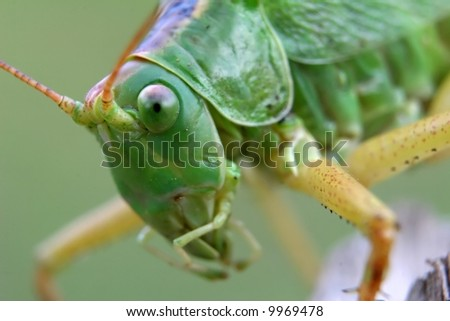 Green locust - stock photo