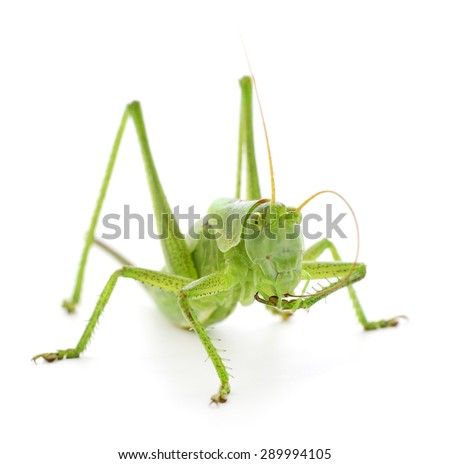 Green locust isolated on a white background  - stock photo