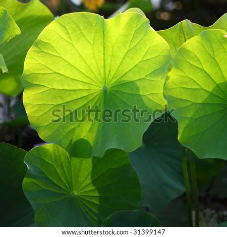 green lotus leaf - stock photo