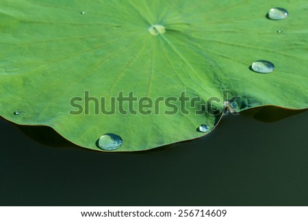 Green lotus leaf in the lake. - With water drop - stock photo