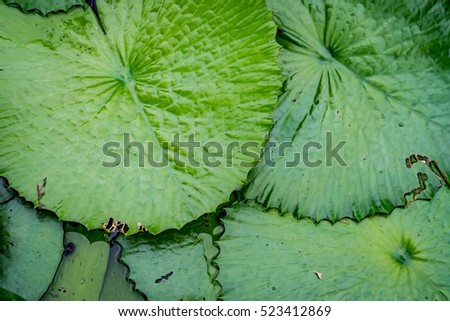 Green Lotus leaves texture in the pond