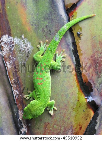 Green Madagascar day gecko on a palm tree - stock photo