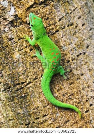 Green Madagascar day gecko on a palm tree - stock photo